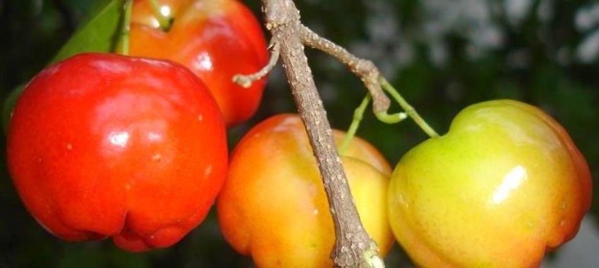 Barbados cherry (Malpighia emarginata)